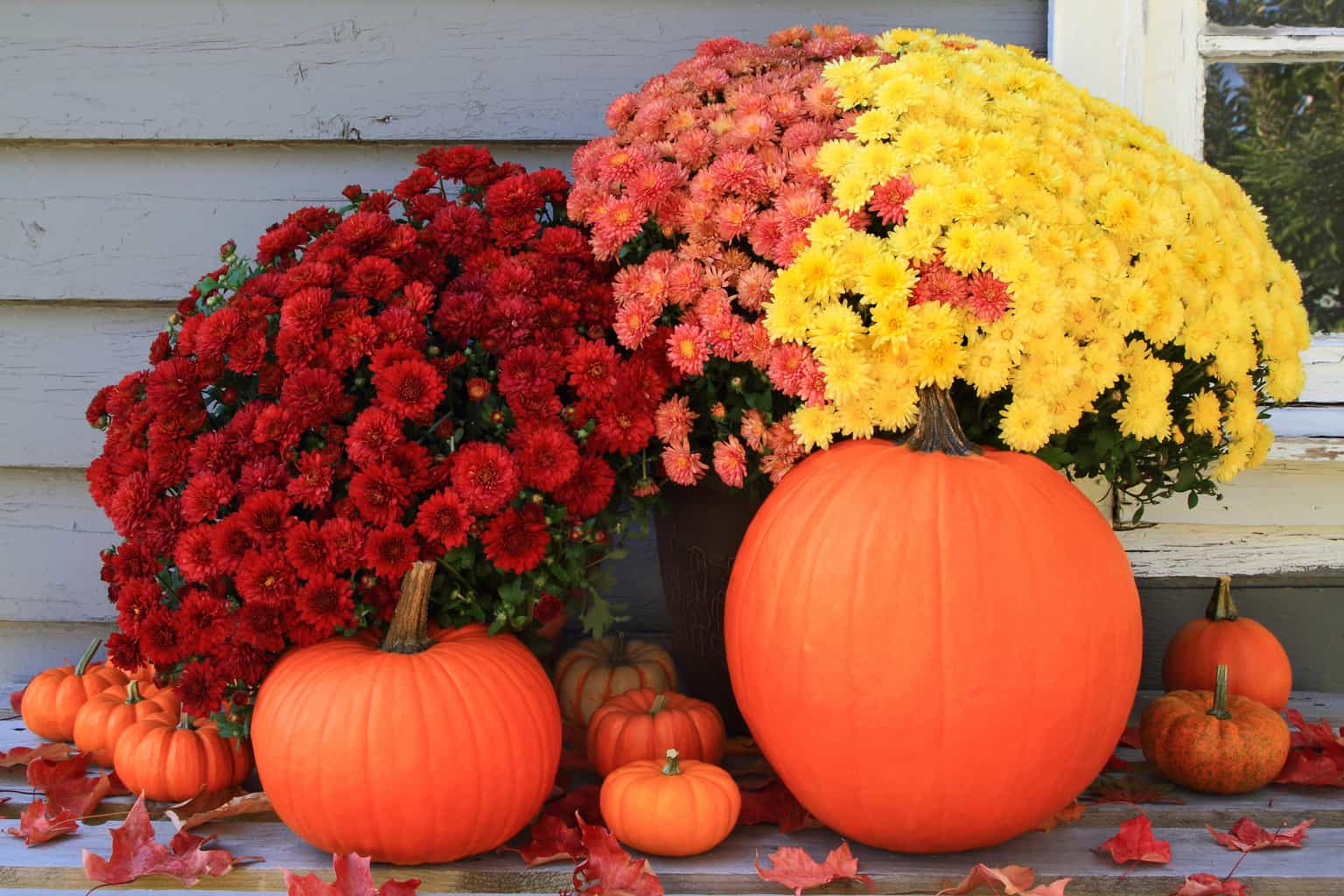 red, orange and yellow fall mums with pumpkins