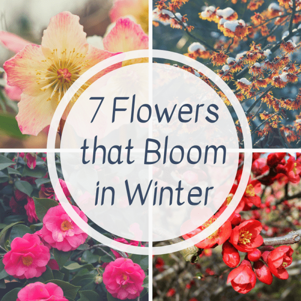 collage of 7 flowers that bloom in winter