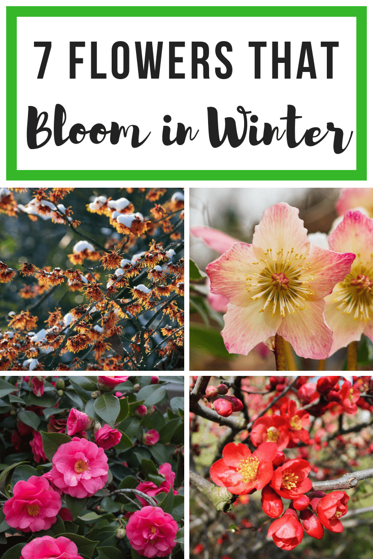 7 Flowers that Bloom in Winter collage