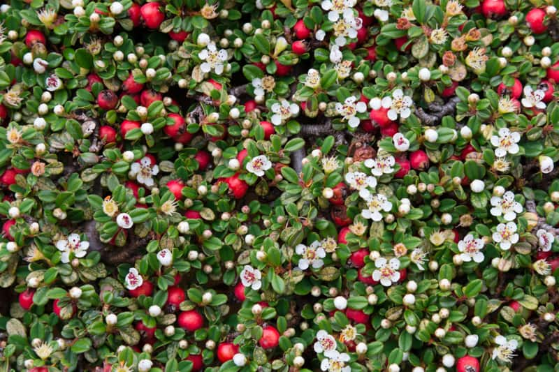 flowers that bloom in winter - Cotoneaster