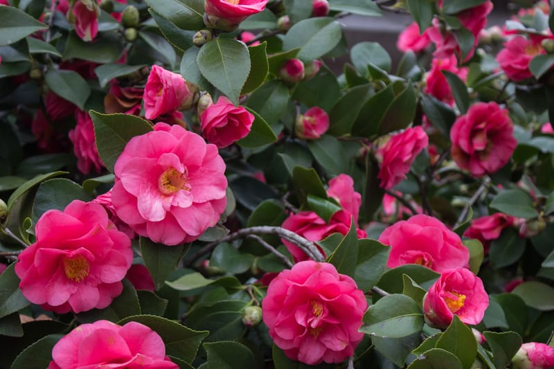 flowers that bloom in winter - Camellia