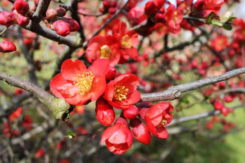 flowers that bloom in winter - flowering quince