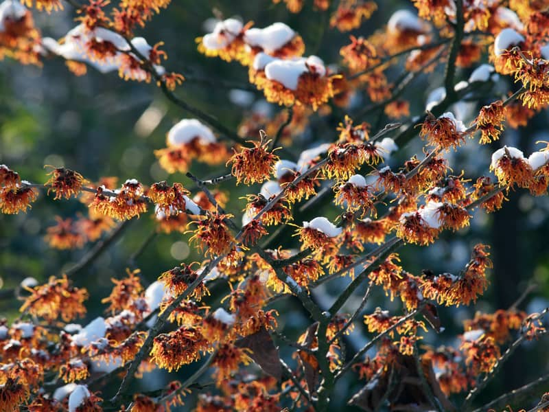 flowers that bloom in winter - witch hazel