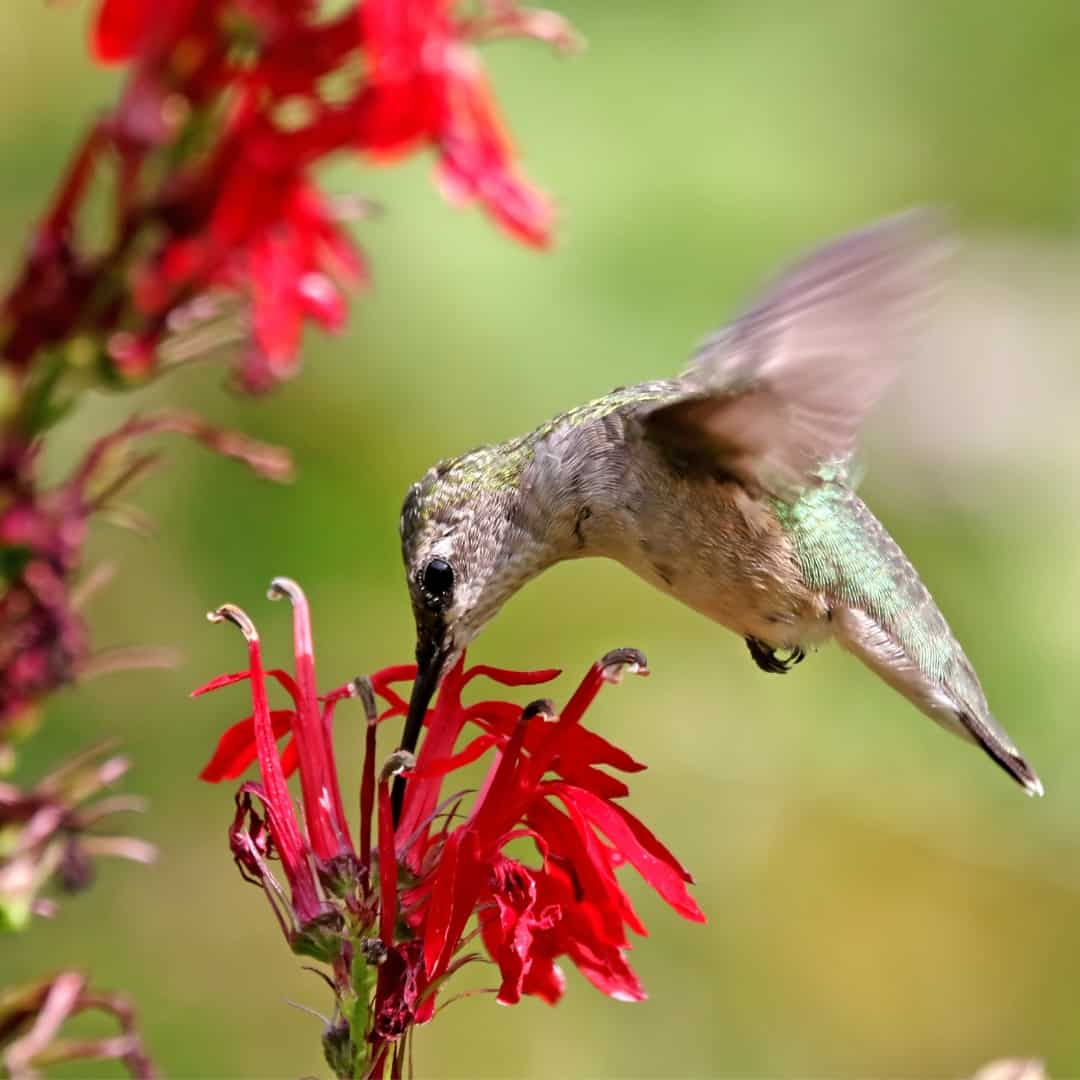 hummingbird drinking nectar from red flower