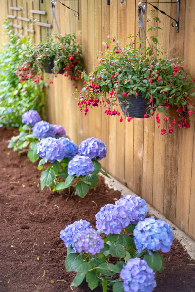 hanging planter baskets and hydrangeas with clematis trellis in background