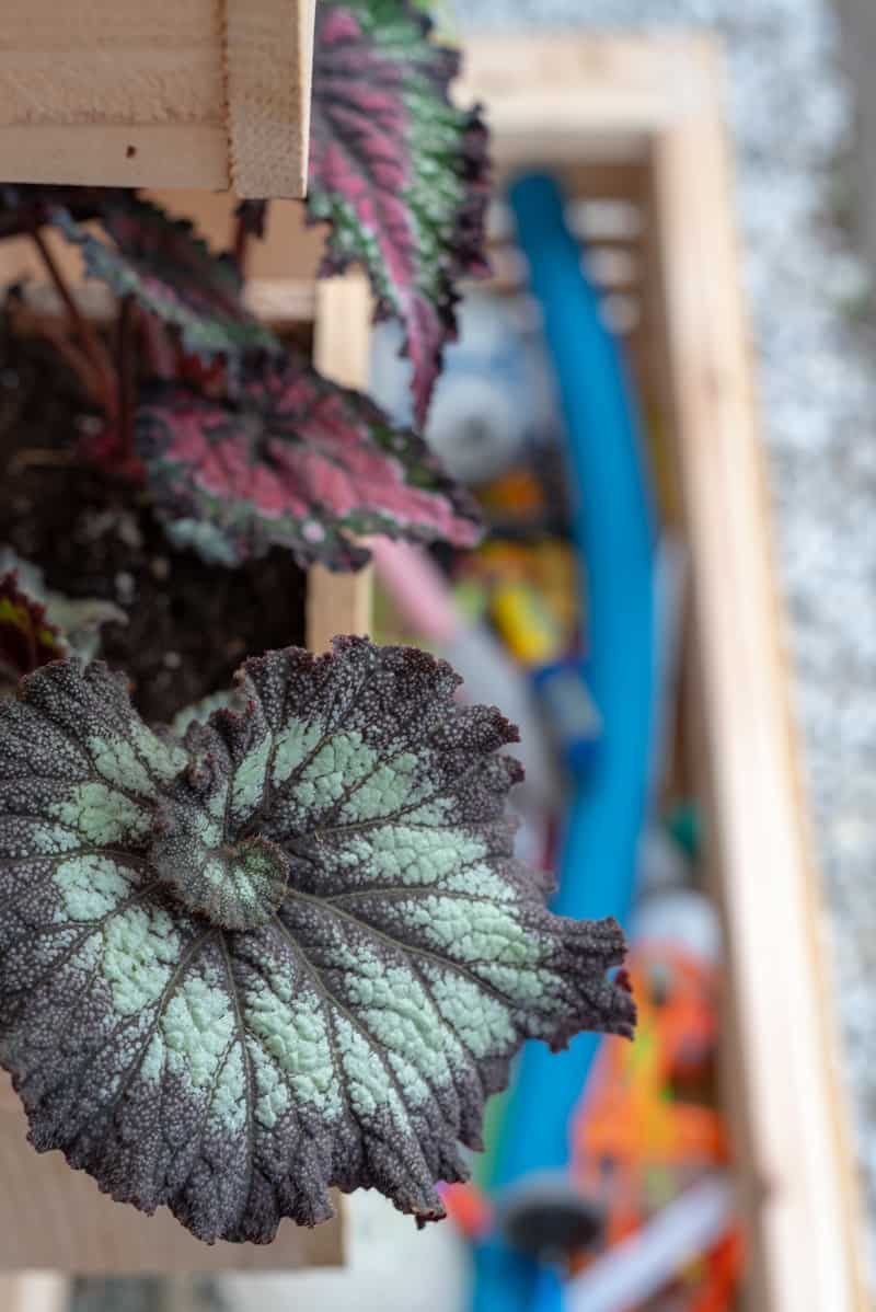 close up of coleus leap with toys in box in background