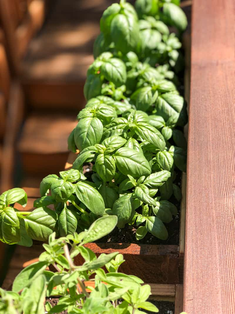 balcony railing planters filled with basil above stairs