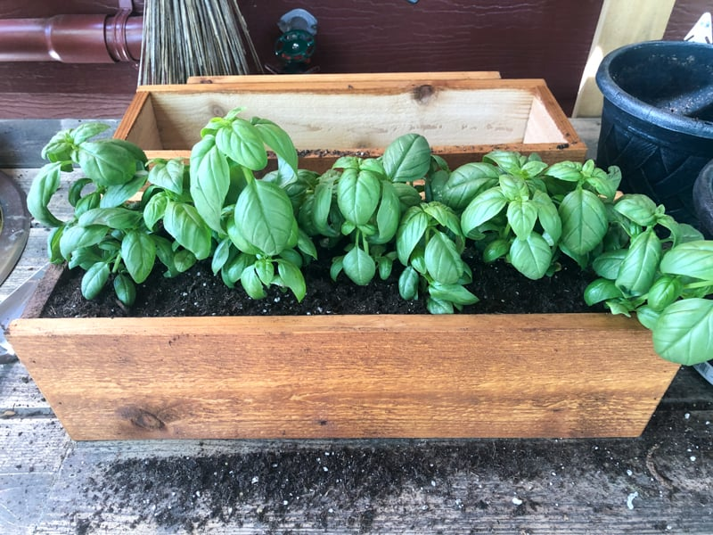 deck rail planter being filled with soil and basil