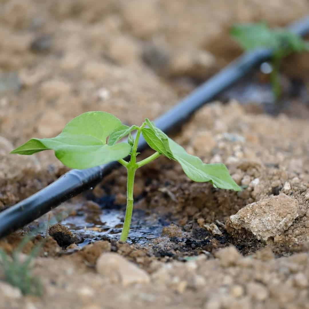 drip irrigation watering a single plant