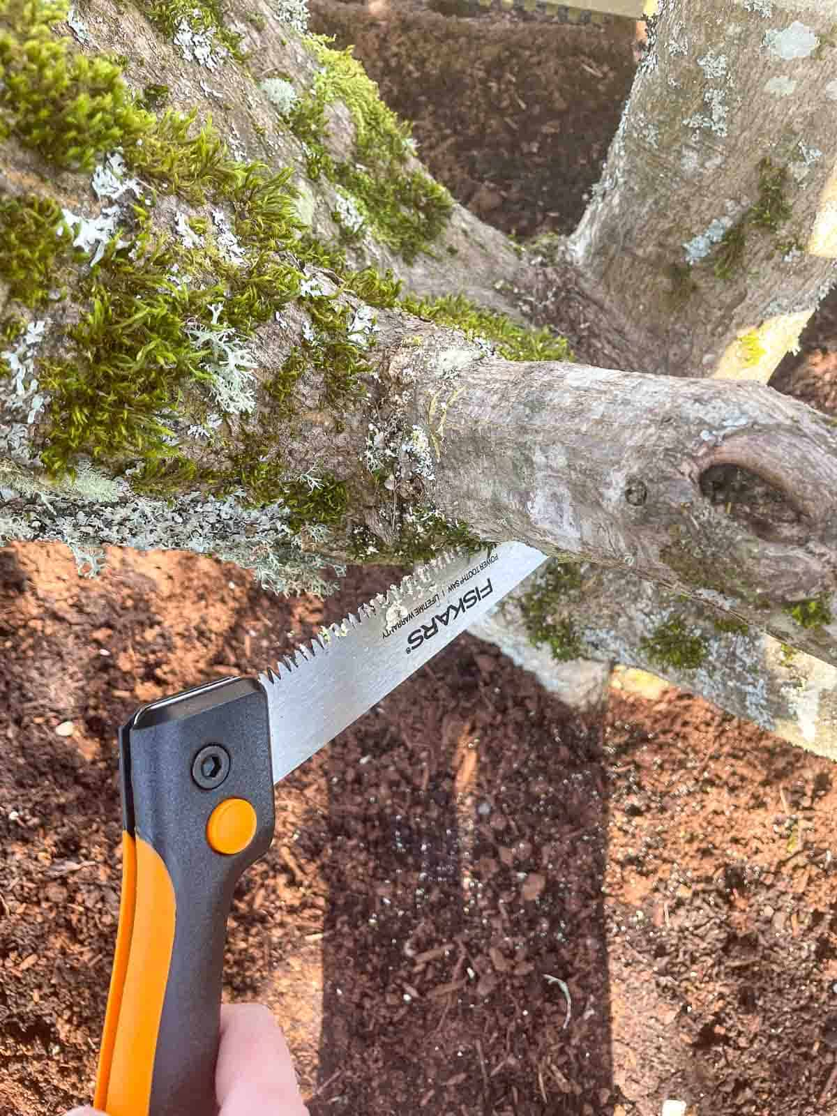 pruning branch from upright Japanese maple tree with a hand saw