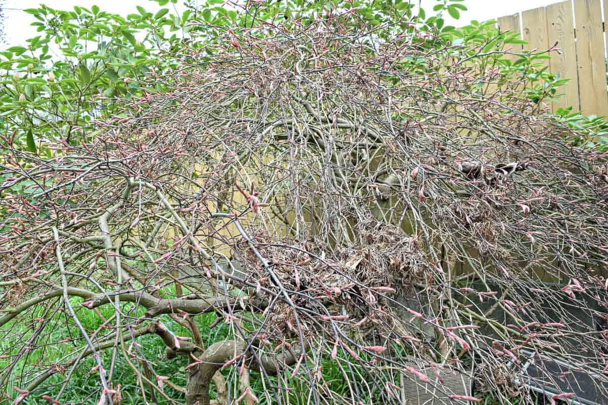 weeping Japanese maple with buds on branches before pruning