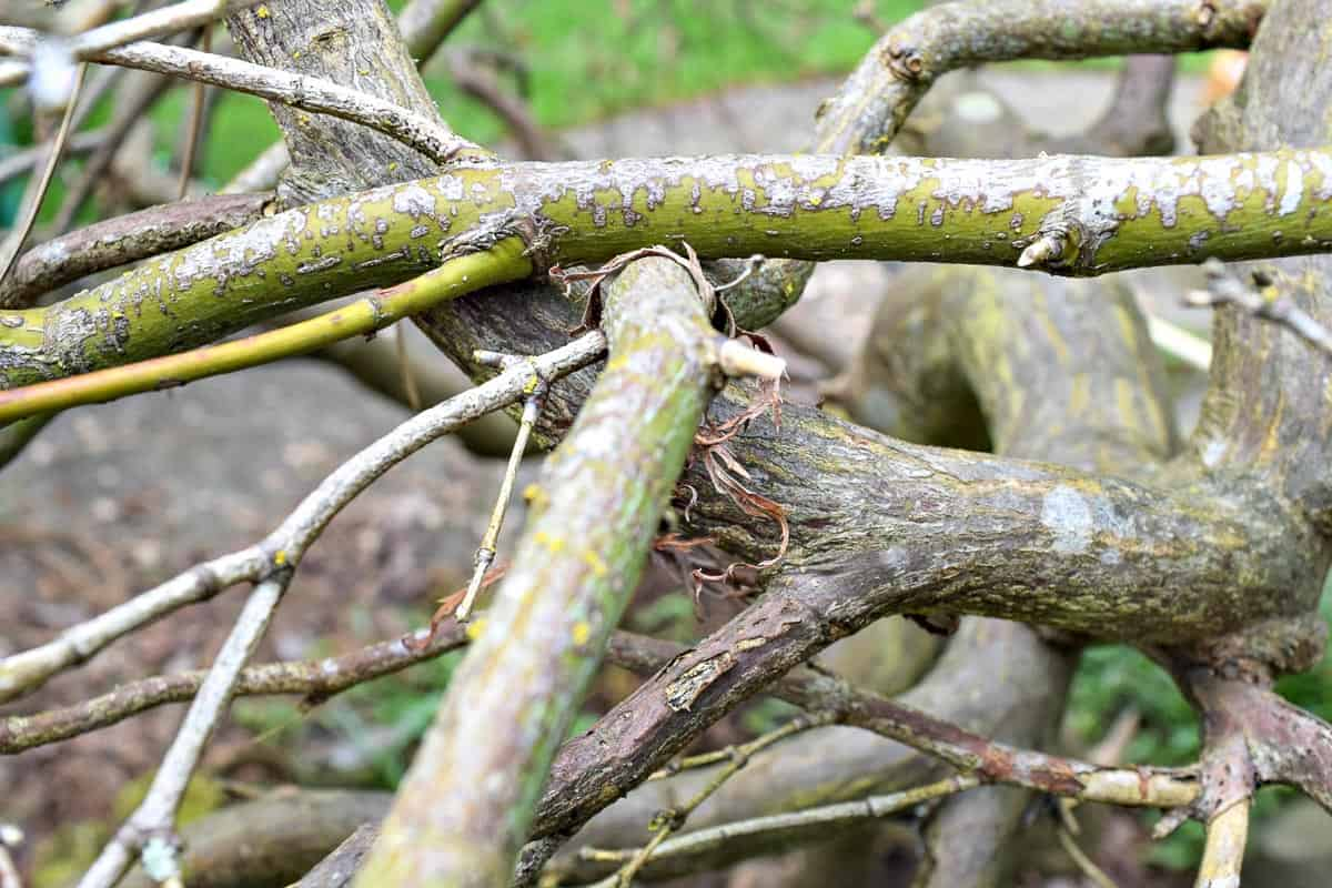 crossing branches on Japanese maple that need to be pruned