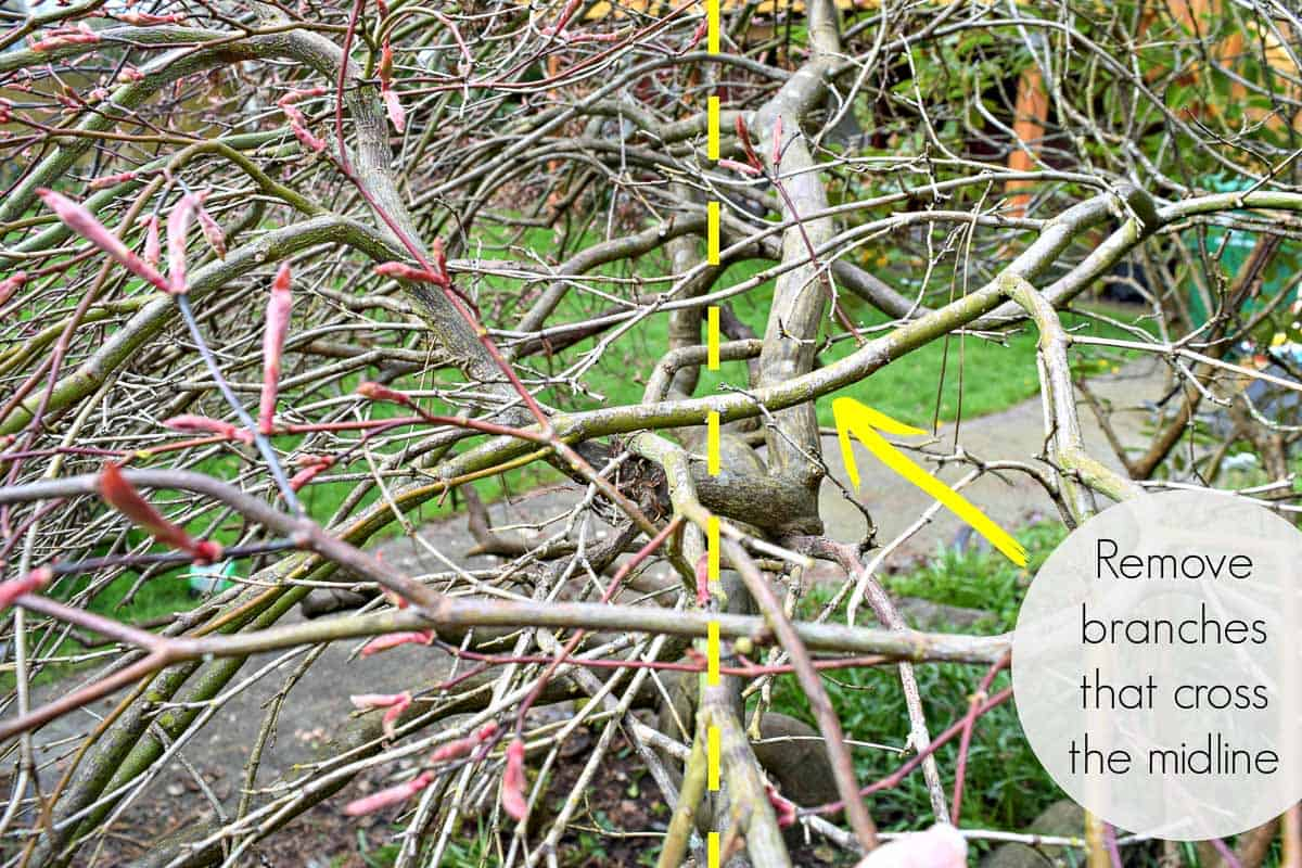 Japanese maple with branches crossing midline with arrow indicating which one to remove
