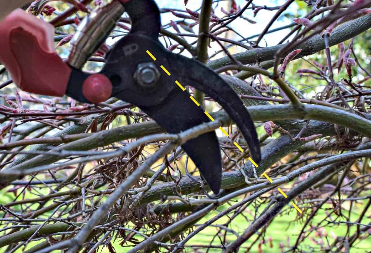 pruning dead branches from Japanese maple at collar
