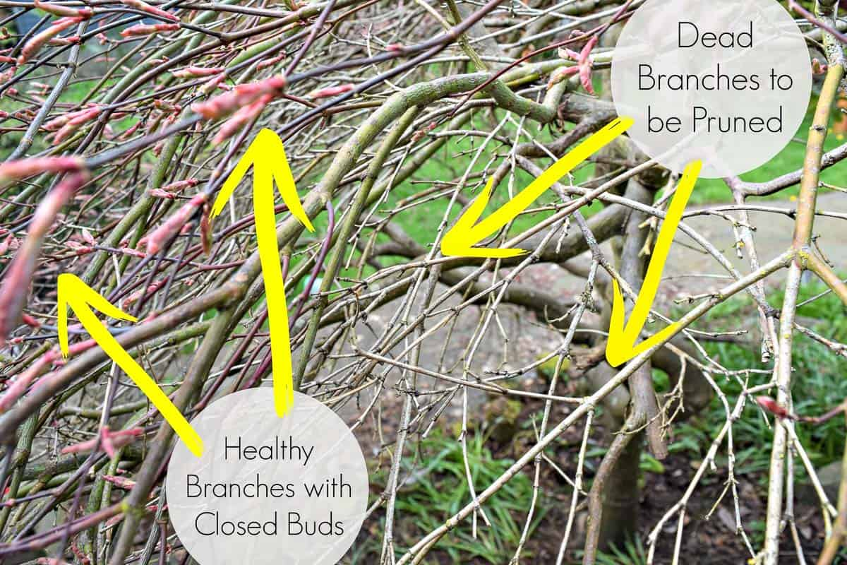 Dead branches to be pruned vs healthy branches with closed buds