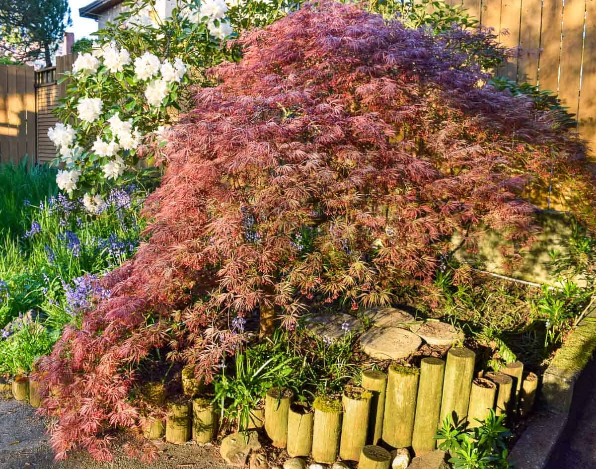 side view of trimmed weeping Japanese maple