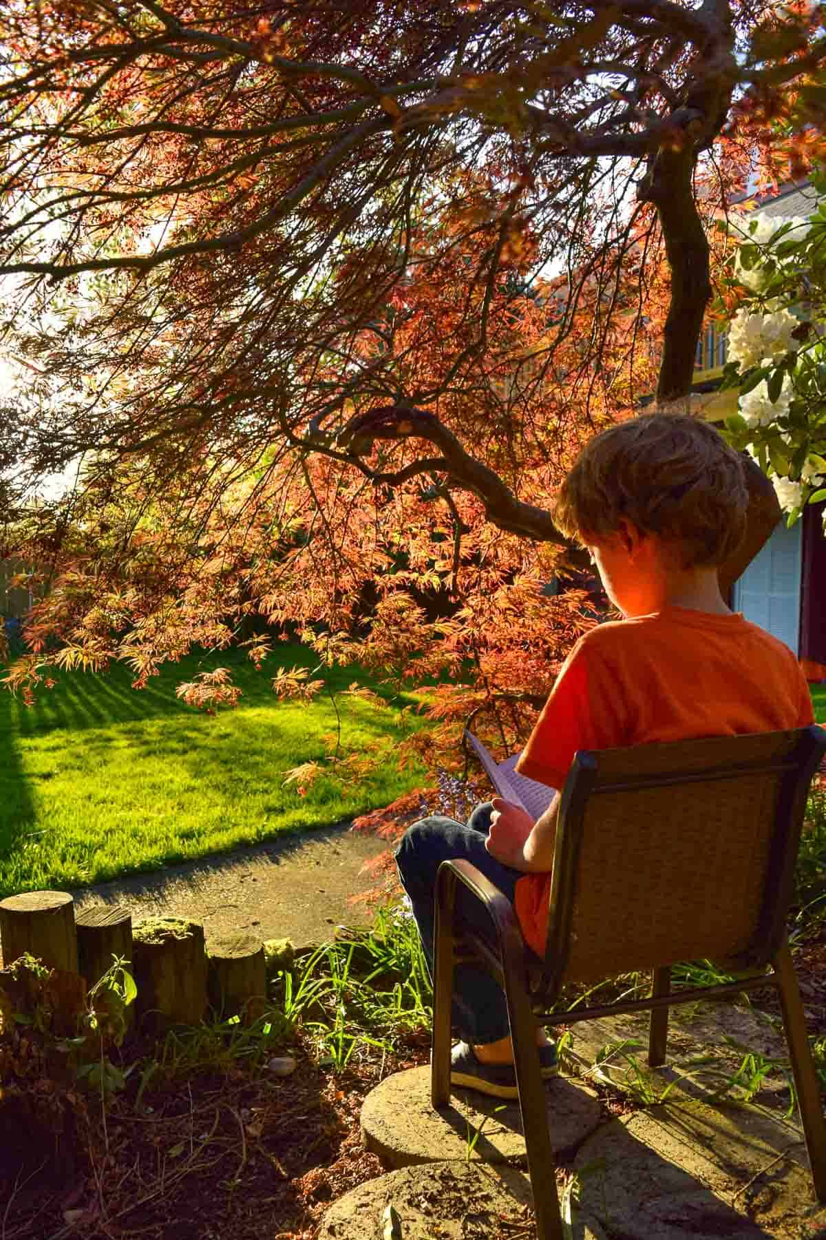 view underneath a weeping Japanese maple with a small boy reading in a chair