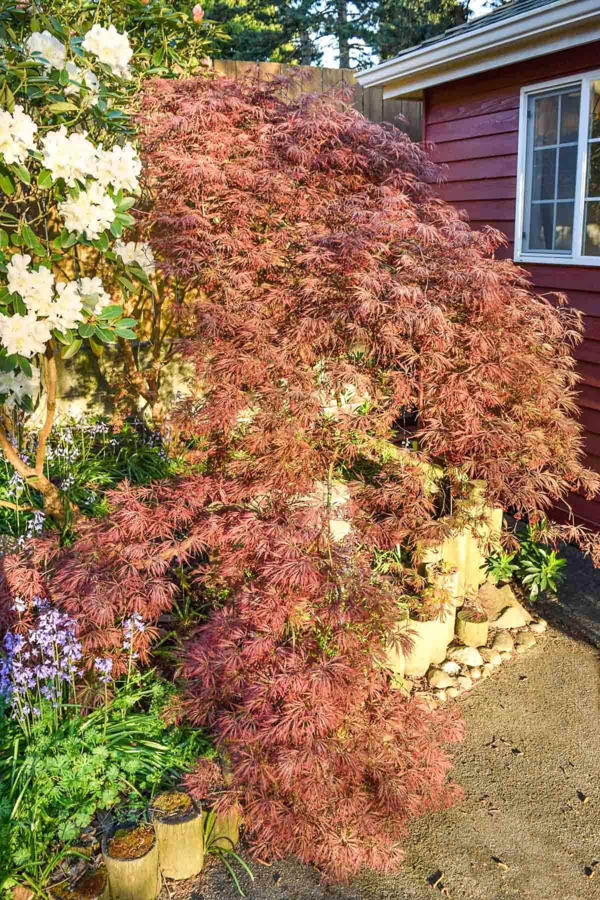 pruned weeping Japanese maple