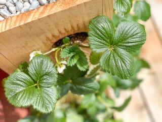 close up of strawberry planter