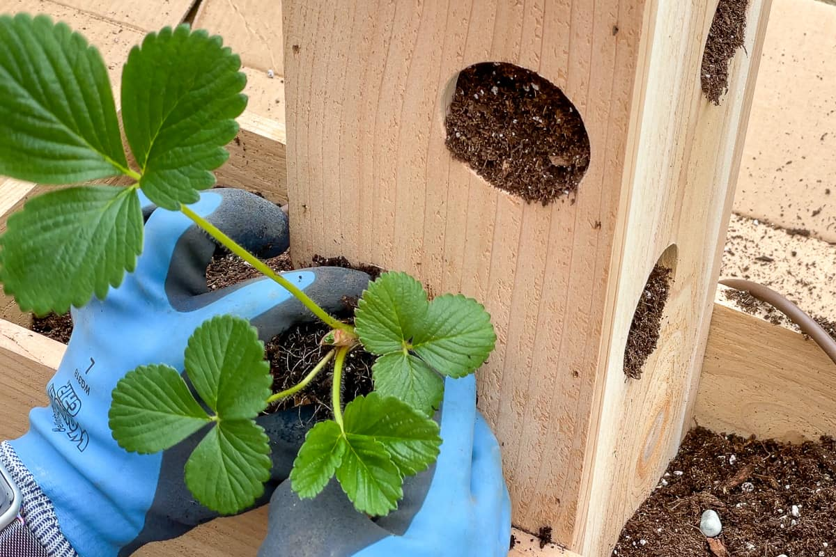 planting strawberry plant in tower planter