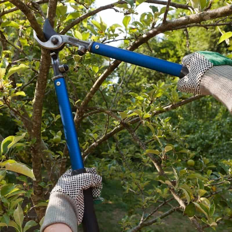 loppers cutting small branch