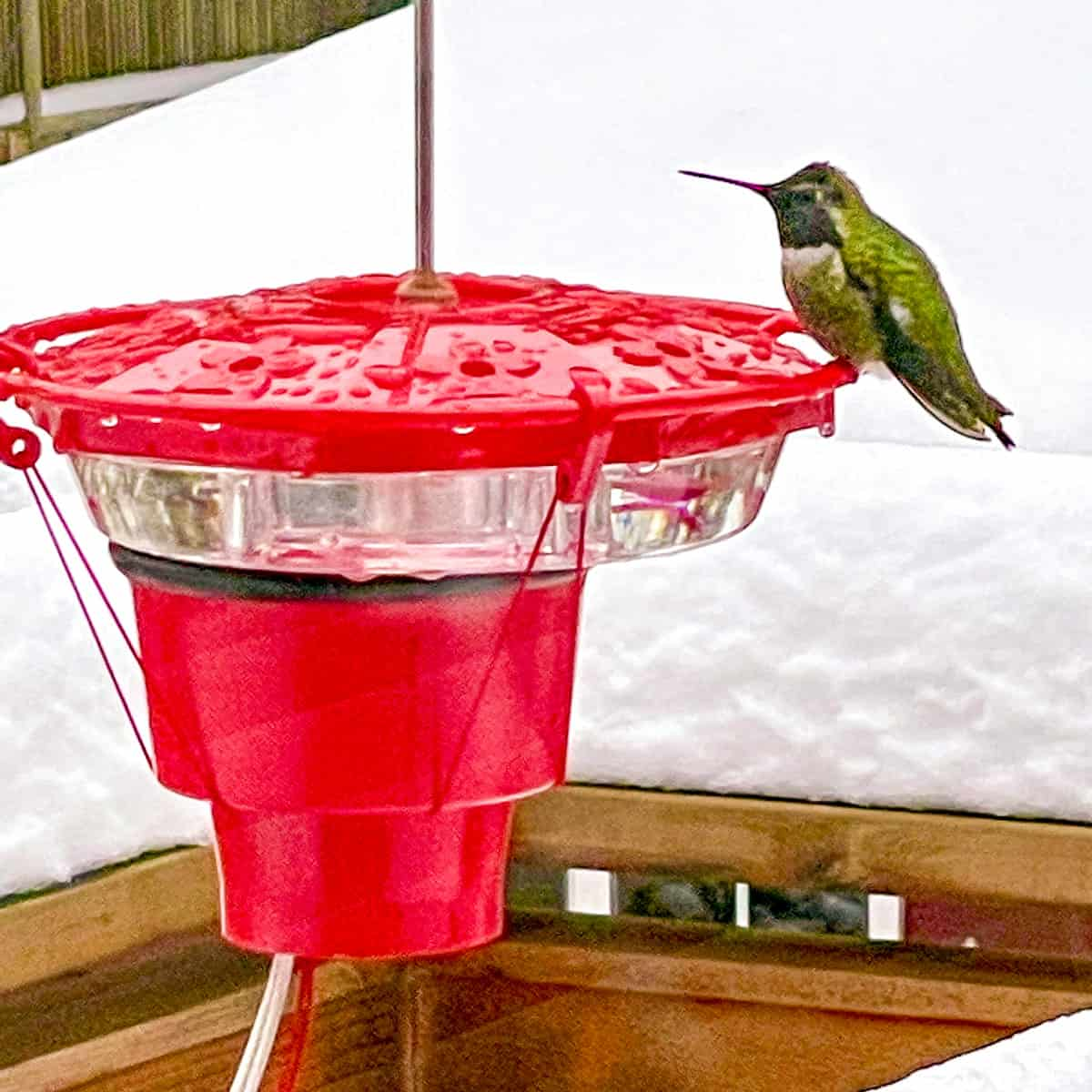 Anna's hummingbird at heated hummingbird feeder in the snow