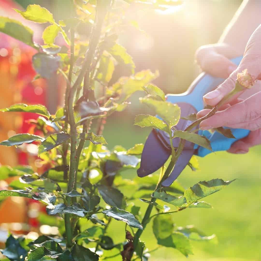 using pruning shears to trim rose bush