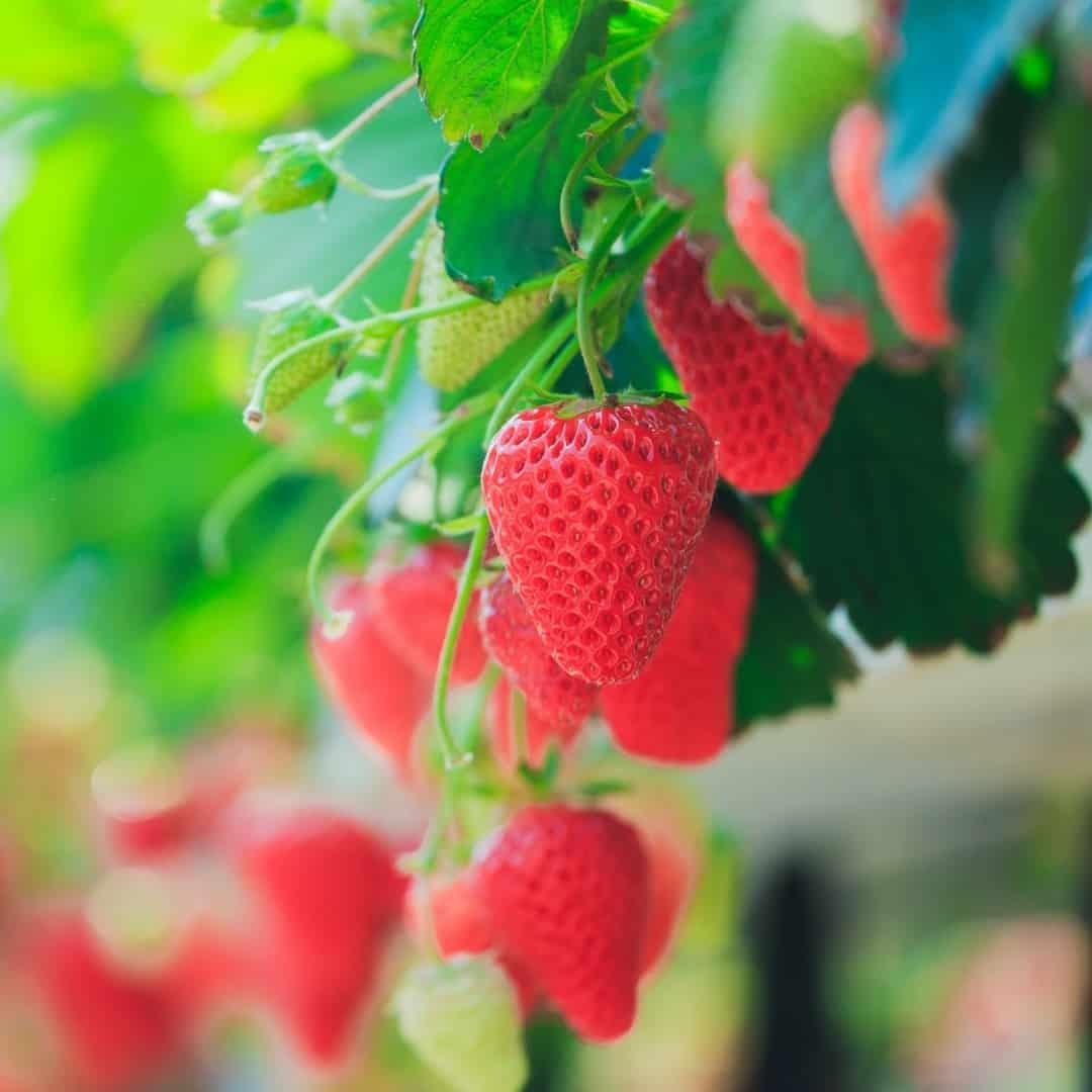 hanging strawberry plants