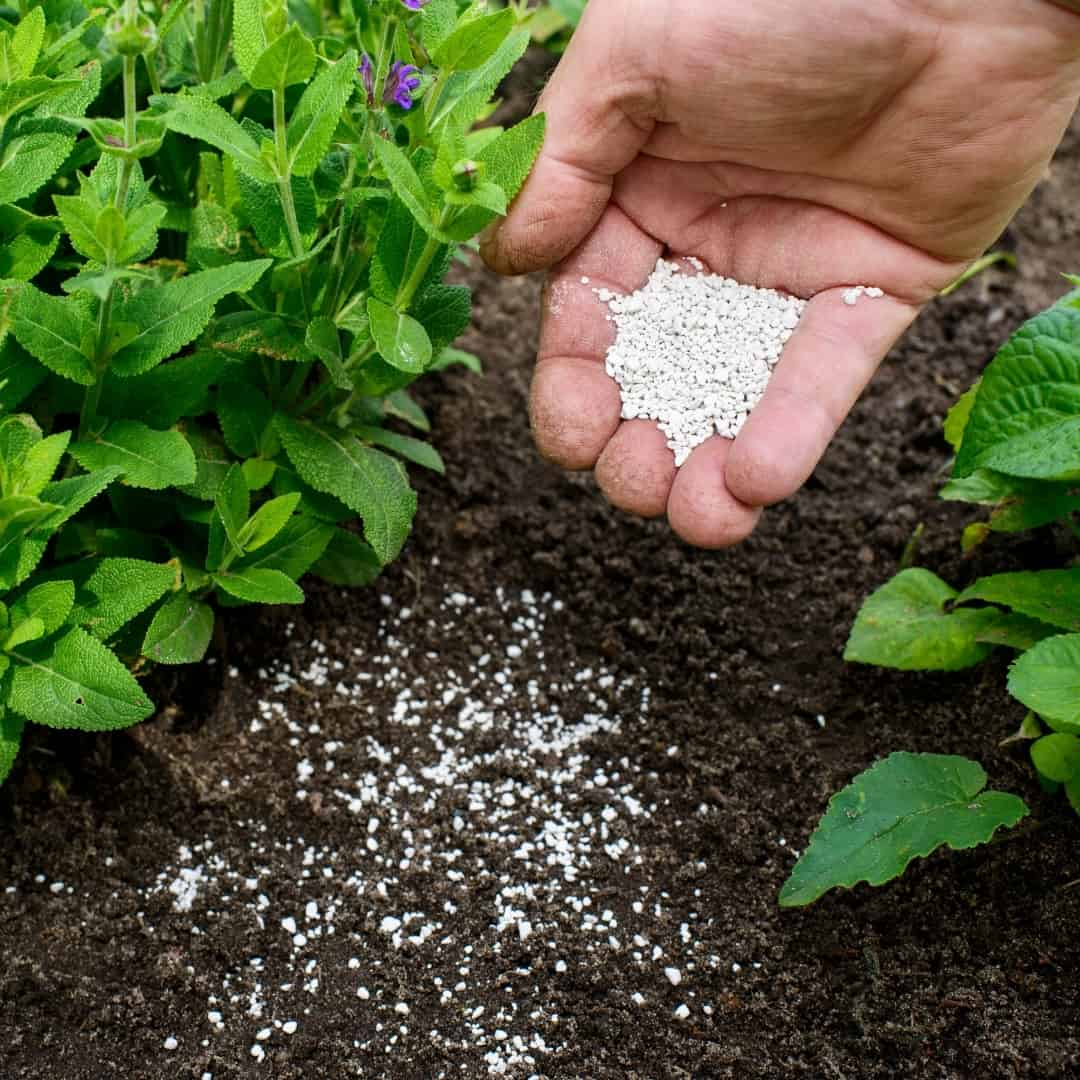 applying fertilizer to a plant by hand