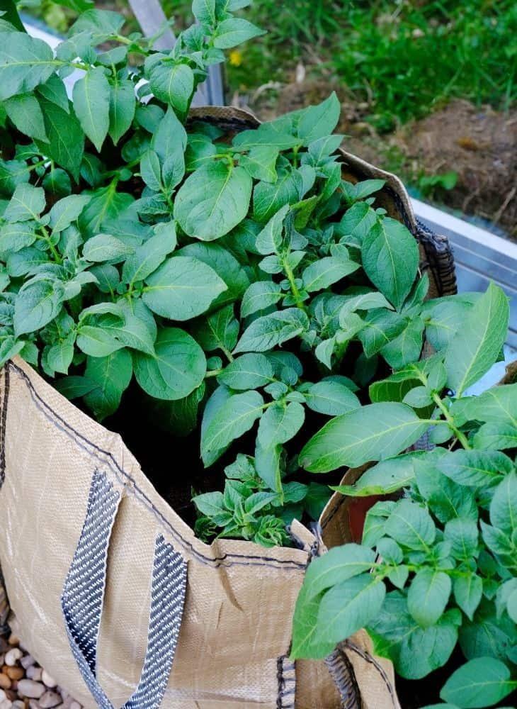 gardening in a grow bag