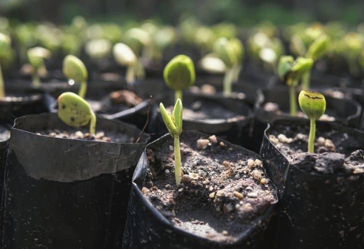 seedlings growing in small grow bags