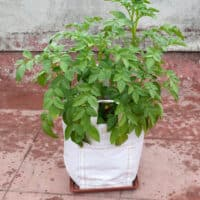 white grow bag with plant