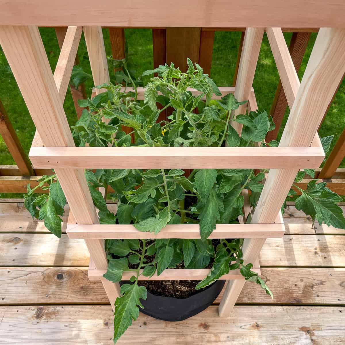 DIY tomato cage surrounding tomato plant in 10 gallon grow bag