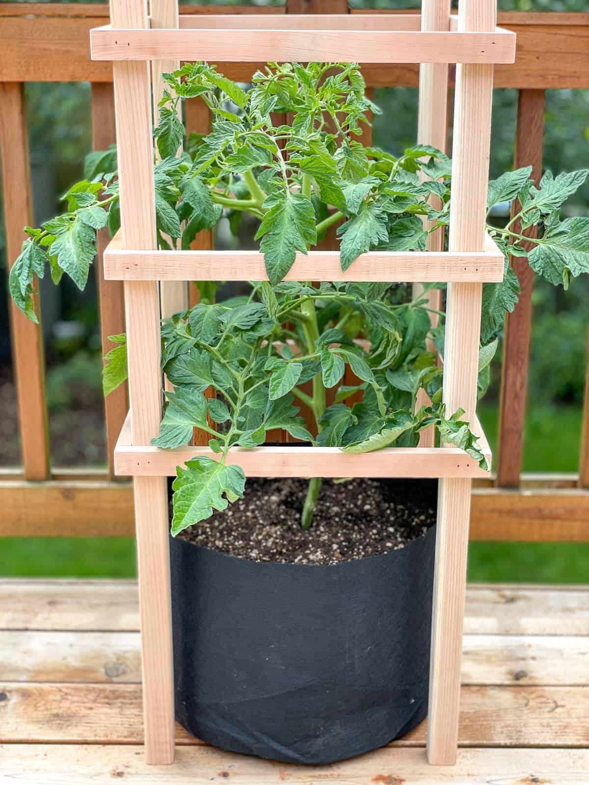 DIY tomato trellis with potted tomato plant