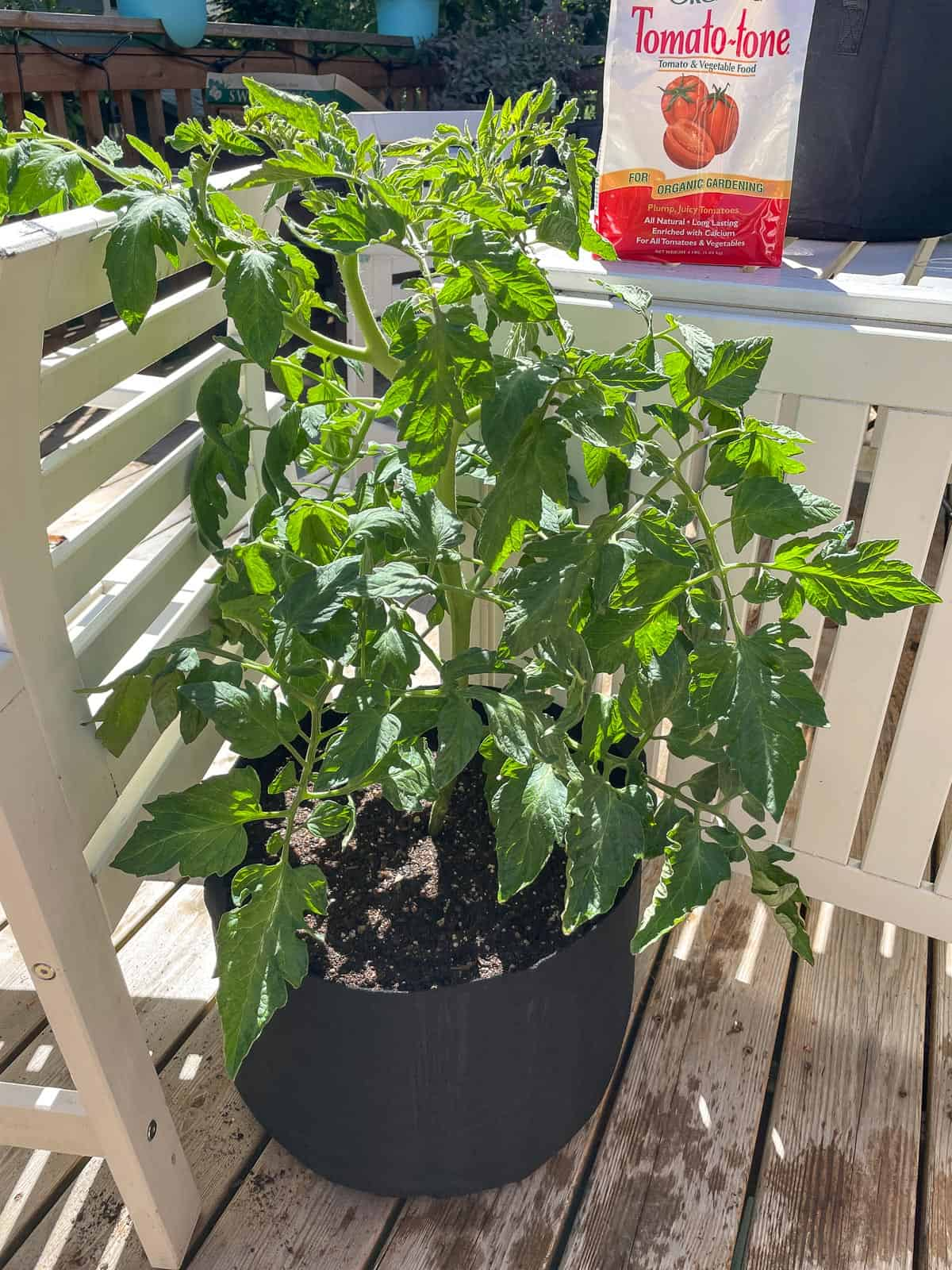 repotted tomato plant leaning against a chair for support