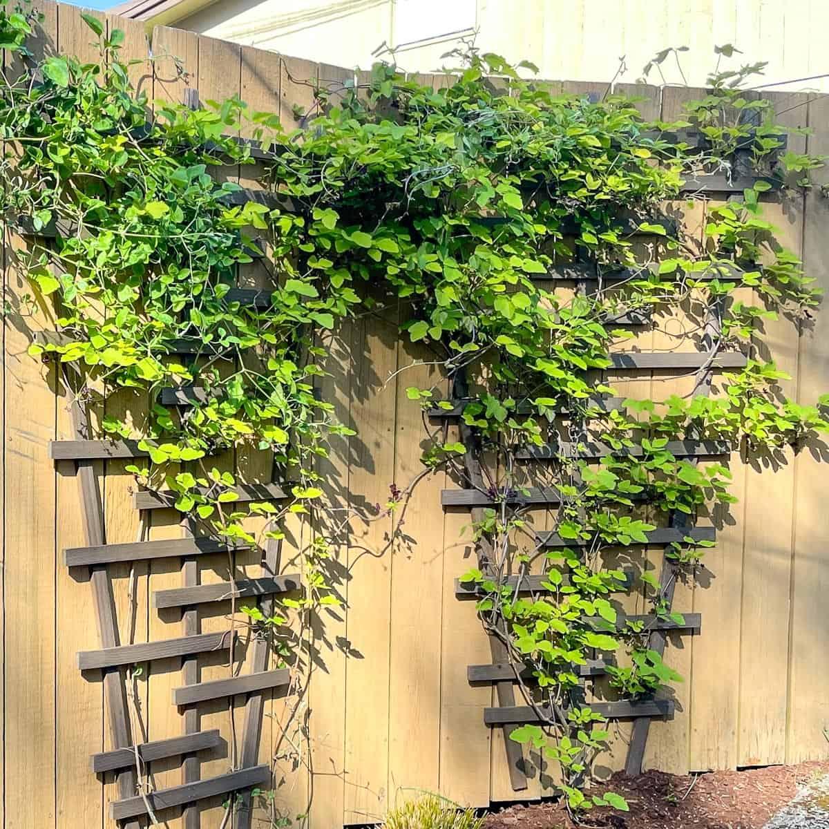 DIY garden trellis covered with vines