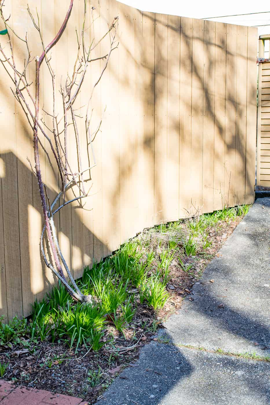 empty fence with climbing rose without support